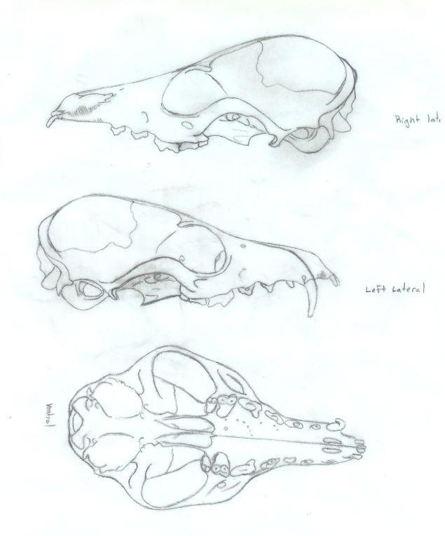 Coyote Skull Diagram