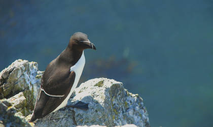 Razorbill by whitewave-moth