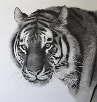 TIGER by graphitemyers