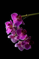 the Orchid by pixelcatcher