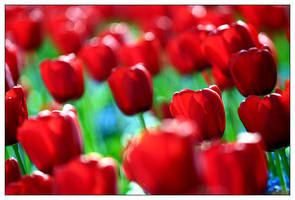 Tulips by pixelcatcher
