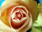 Behind the rose 7 by hugitsa