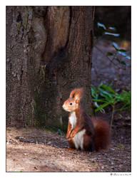 squirrel by sorontir
