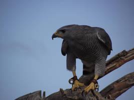 Gray Hawk by Thastygliax