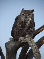 Great Horned Owl by Thastygliax