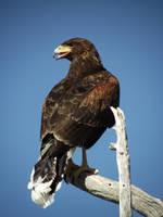 Harris's Hawk I by Thastygliax