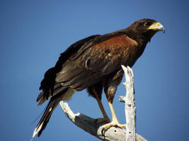 Harris's Hawk II by Thastygliax