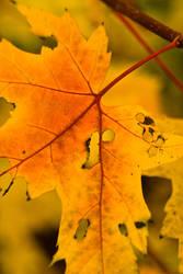 Leaf by skierscott