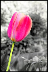 Tulip by Sakura-momentS
