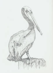 Pelican by mrwatson