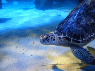 Sea Turtle by harpseal16