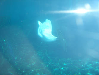 Beluga Whale by harpseal16