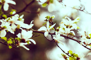 Magnolia II by bittersweetvenom