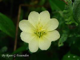 Oenothera laciniata - Cutleaf Evening Primrose by Fezzgator