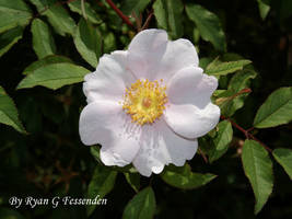 Rosa palustris - Swamp Rose by Fezzgator