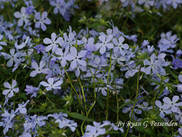 Phlox divaricata - Blue Woodland Phlox by Fezzgator