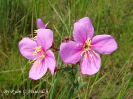 Rhexia alifanus - Savanna Meadowbeauty by Fezzgator