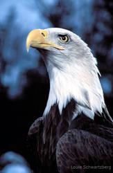 Fierce: Alaskan Bald Eagle by louieschwartzberg