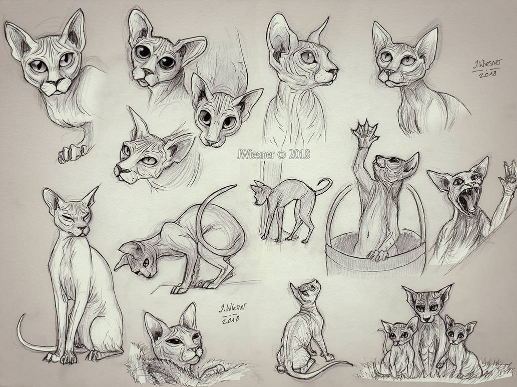 Sphynx cat studies by JWiesner