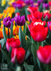 tulip by HESAM222
