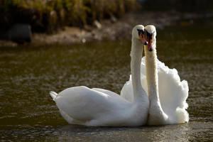 Swan love by yvel
