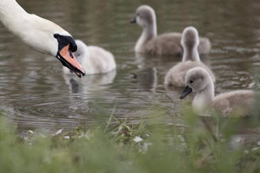 youth of swan #2 by yvel
