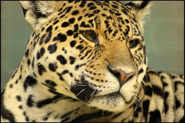 Panthera Onca by ScHoKoKeKsChEn