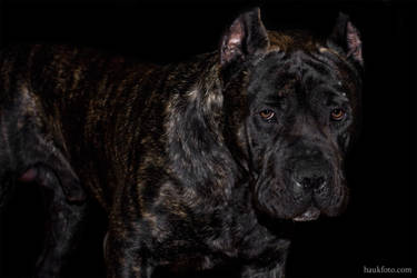 Oris the Dog In Black Setting by OrisTheDog