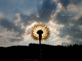 dandelion by Aur0raB0realis