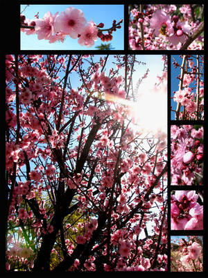 More Cherry Blossoms... by Andarelle