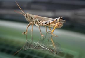 Glassy Grasshopper by estjohn