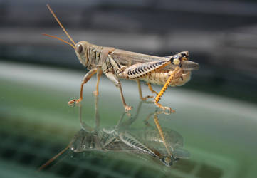 Glassy Grasshopper by estjohn