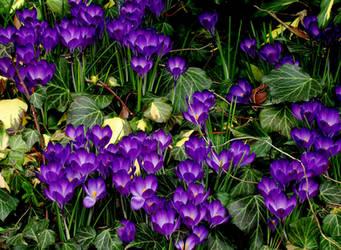 Purple Hearts by rodwilliams