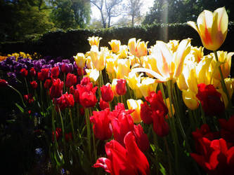 TULIPS by yelyahlover