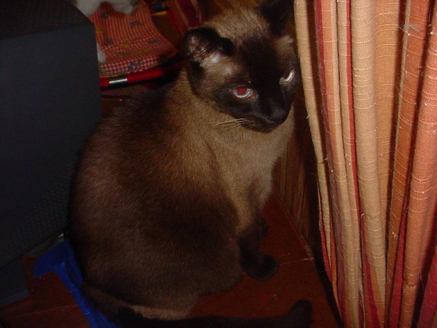 Cat: Rocky by FluffyKnight