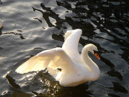 Stock 124: swan wings spread by AlzirrSwanheartStock
