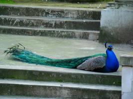 Stock 296: sitting peacock by AlzirrSwanheartStock