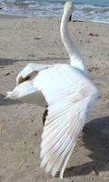 Stock 327: swan wing 1 by AlzirrSwanheartStock
