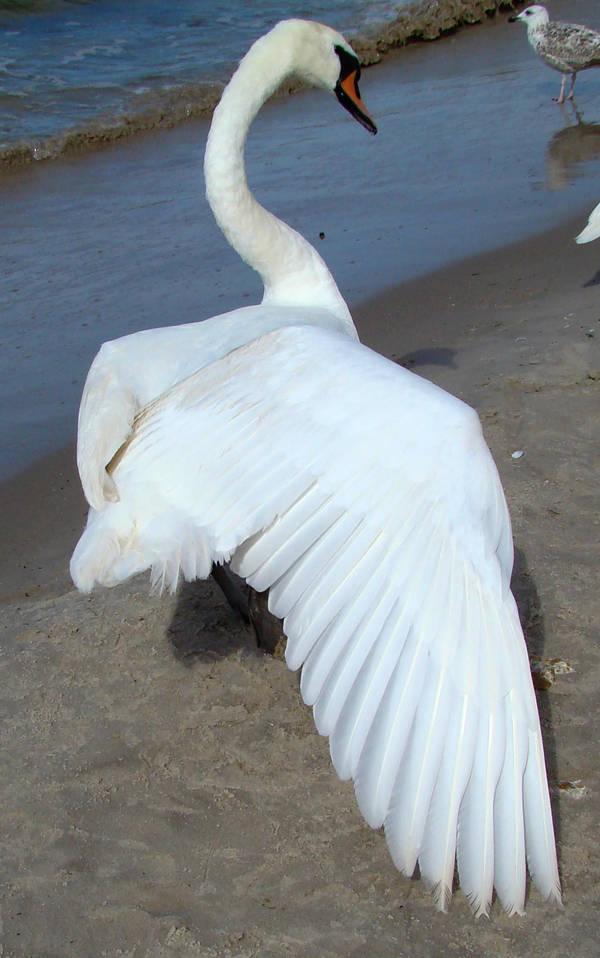 Stock 329: swan wing 2 by AlzirrSwanheartStock