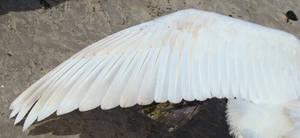 Stock 331: swan wing 4 by AlzirrSwanheartStock
