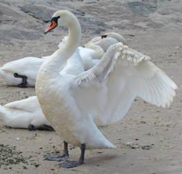 Stock 332: swan wings 2 by AlzirrSwanheartStock