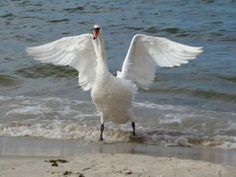 Stock 432: swan wings by AlzirrSwanheartStock