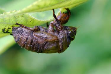 Cicada Husk by typomazoku