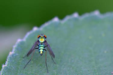 Long-Legged Fly by typomazoku