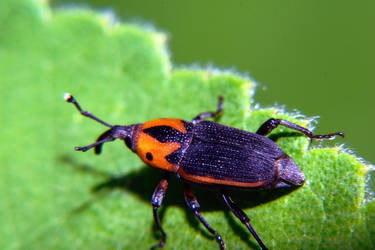 Red and Black Weevil by typomazoku