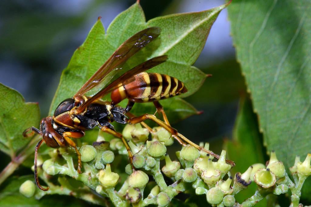 Foraging Paper Wasp by typomazoku