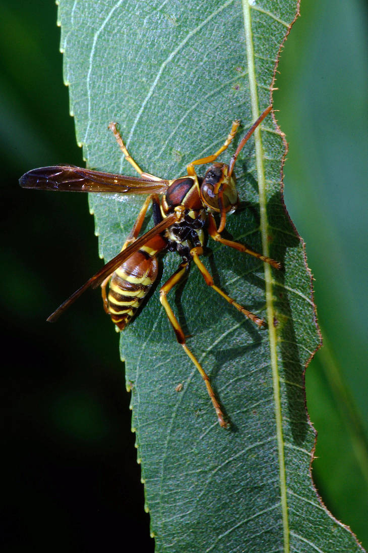 Paper Wasp on Willow by typomazoku