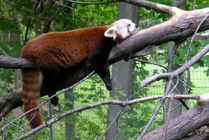 Sleeping Red Panda by drakered