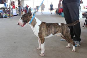 Bull terrier by DogHeartsKoala