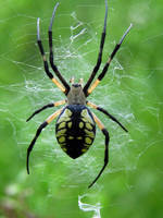 Black and Yellow Argiope by PixelBlender